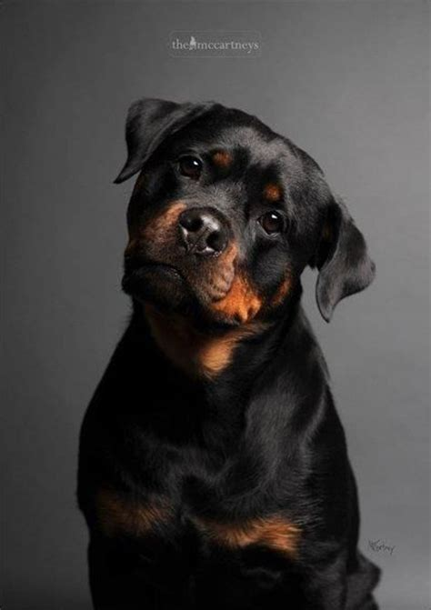 17 best ideas about baby rottweiler on