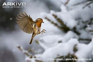 Robin in flight | Birds | Pinterest | Robins, Bird and Animal