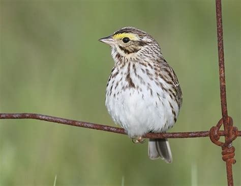 savannah sparrow life expectancy
