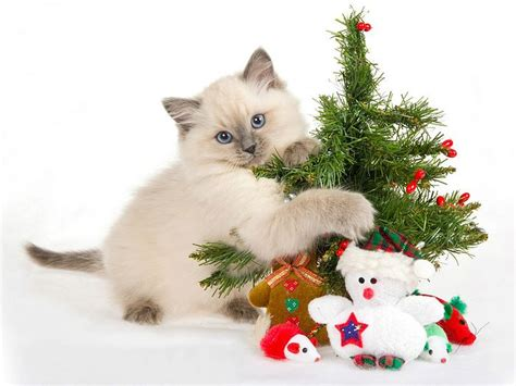 cat with christmas decorations picture 25 wallcoo net