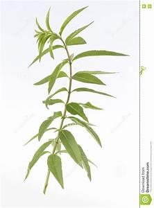 Verveine Plante Tisane : plante m dicinale de verveine de nard indien photo stock image 77575982 ~ Mglfilm.com Idées de Décoration