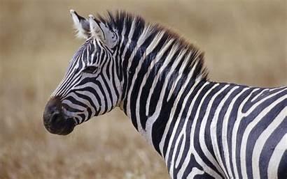 Zebra Desktop Wallpapers
