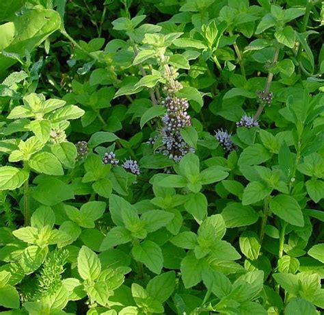 http://www.onlyfoods.net/mentha-arvensis.html