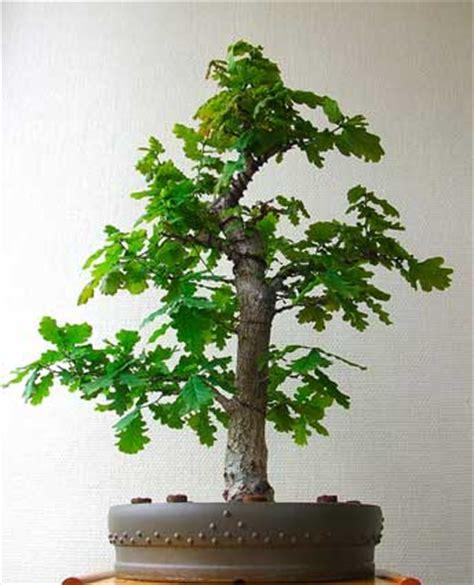 chene vert en pot parlons bonsai evolution d un pr 233 l 232 vement de ch 234 ne p 233 doncul 233 quercus robur