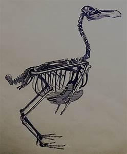 Real Dodo Bird Skeleton