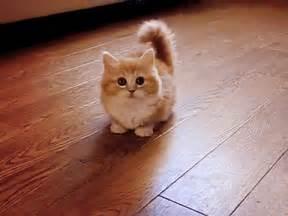 munchkin cat scottish fold scottish fold munchkin on