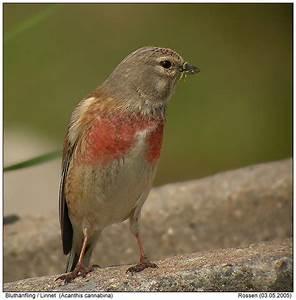 Vogel Mit Roter Brust : thema anzeigen was f r ein vogel ist das ~ Eleganceandgraceweddings.com Haus und Dekorationen