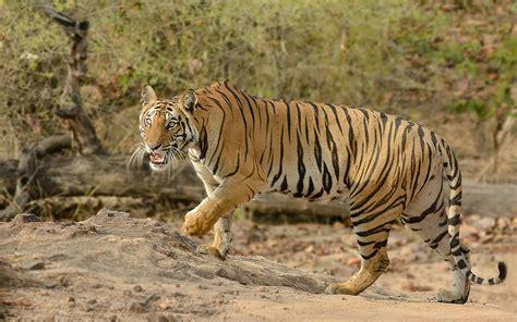 wild animals  africa tiger desktop wallpaper hd