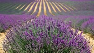 Prix De La Lavande : les 10 plus belles fleurs mauves du jardin ~ Premium-room.com Idées de Décoration