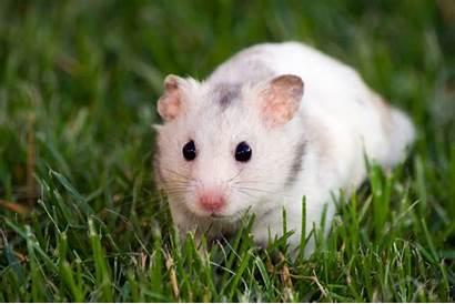 Hamster Names Hamsters Pet Females