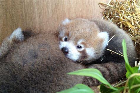 panda cubs london near zoo standard thumbnails