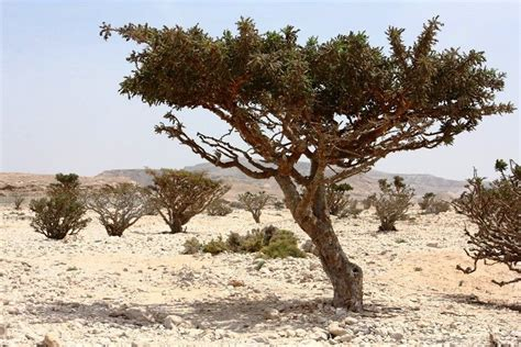 growing frankincense the frankincense trees of wadi dawkah amusing planet
