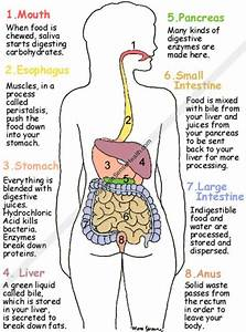 Good Food Digestion Digestive System Diagram From
