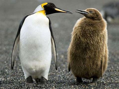King Penguin  Bird Britannicacom