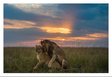 Report from photo safari in Masai Mara Kenya   Federico ...