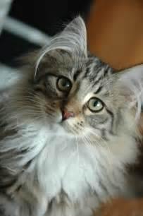 forrest cat file forest cat portrait jpg wikimedia commons
