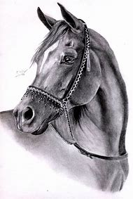 Arabian Horse Head Drawing