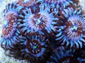 Top 10 Zoanthids and Palythoas Mad Hatter s Reef