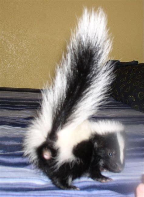 skunks as pets cute baby pet skunk 6 weeks old animals pinterest