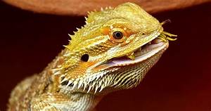 Top 10 Bearded Dragon Frequently Asked Questions