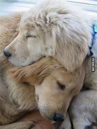 Golden Retriever Puppy Love