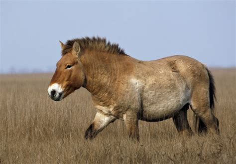 extinct most valuable virtually horse wild conservation species endangered przewalski once shutterstock credit still almost