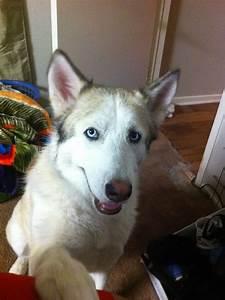 Austin Dog Training: Husky/Timberwolf Mix Knows How To ...