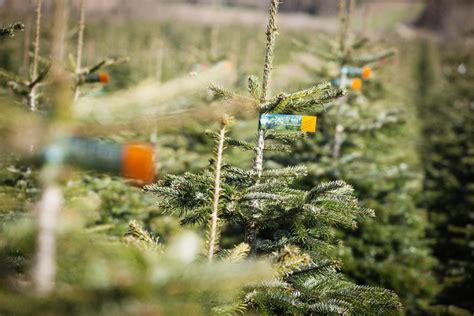 wo steht der größte natürliche weihnachtsbaum fair gehandelte weihnachtsb 228 ume