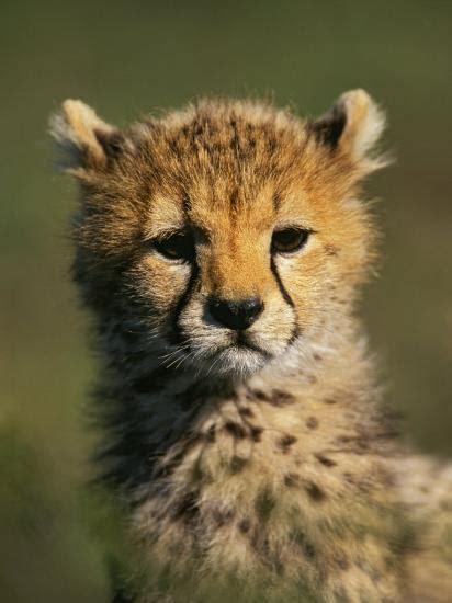 cheetah cub acinonyx jubatus masai mara game reserve