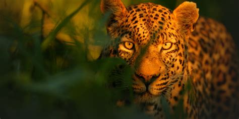 The Unlikely Leopard  National Geographic