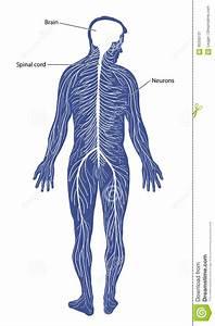 Nervous System Stock Vector  Illustration Of Cord  Neurology