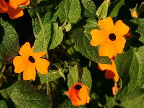 ingwer im garten ingwer pflanzen im garten oder im topf ist ganz einfach ingwer selbst anbauen