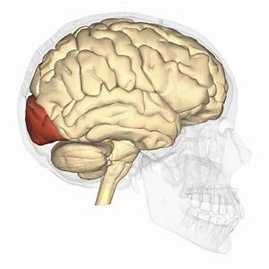 File Occipital Lobe - Lateral View Png