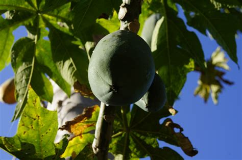 Best Fruit Trees To Grow In Florida  Tampa Bay Tiny Homes