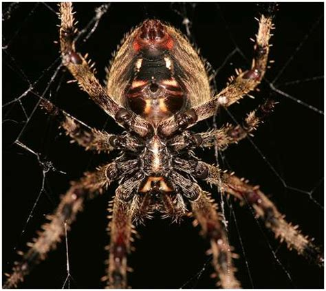 Barn Spider Bite by The Scariest Spiders On The Planet Pics Nsf