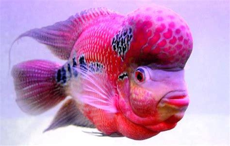 19 Jenis Ikan Hias 10 jenis ikan hias paling populer di indonesia
