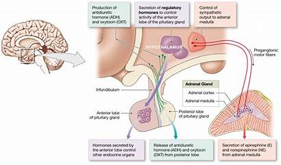 Posterior Lobe Anterior Hormones Hypothalamic Control Pituitary
