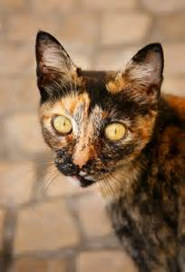 calico cat personality calico kittens personality with pictures ehow