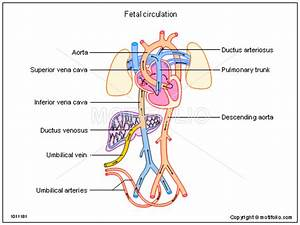 Fetal Circulation  Ppt Powerpoint Drawing Diagrams