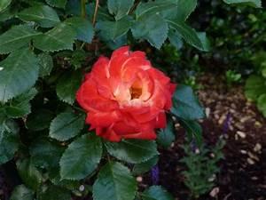 rumba floribunda rose buy at agel rosen With katzennetz balkon mit rose garden parfum