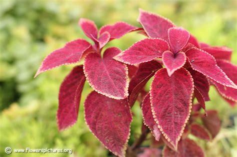 what is a coleus plant coleus plant picture plant pictures 9467
