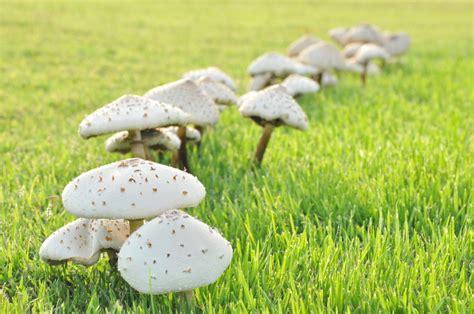 Hilfe Pilze Im Garten by Pilze Auf Dem Rasen Pilze Im Rasen Garten Pilze Im Rasen