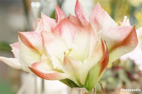 care of an amaryllis how to care for amaryllis plants watering and post care instructions plantopedia
