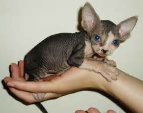 hairless cat for free classifieds hairless sphynx kittens for new homes