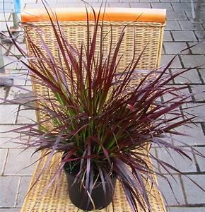 Rotes Gras Winterhart : pennisetum setaceum rubrum rotes oder afrikanisches ~ Michelbontemps.com Haus und Dekorationen