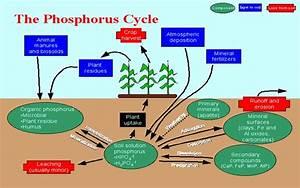Diagram Phosphorus Cycle Diagram