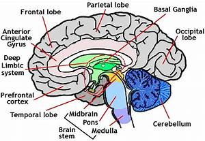 Picture Of Human Brain