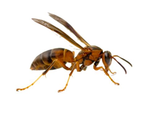 wasps  north texas pest control mckinney tx big