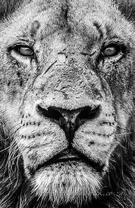 Male Lions Face Drawing