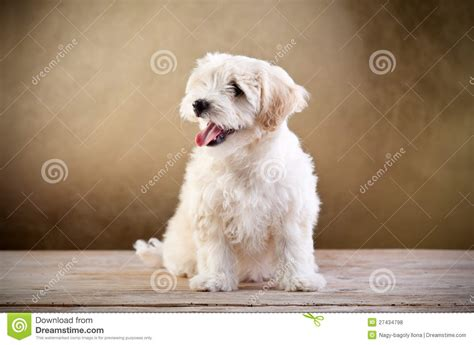 Dogs That Shed Little Hair by Small Fluffy Dog Sitting Stock Photo Image Of Looking